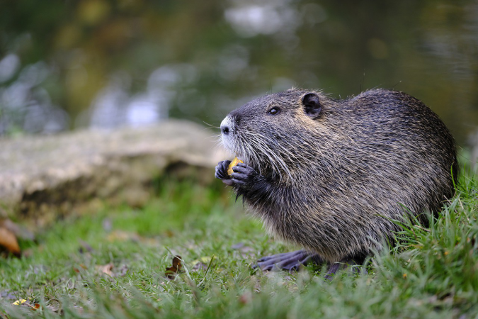 Beaver 4571863 1280