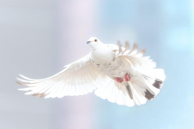 Vredesduif pixabay
