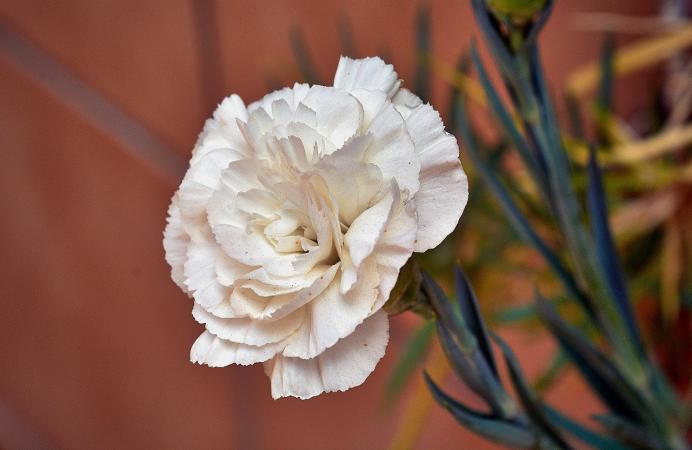 White carnation 4303549 1280