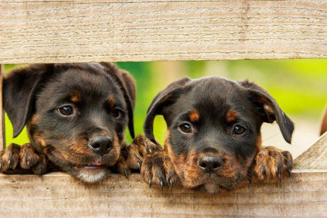 Rottweiler 1785760 1280